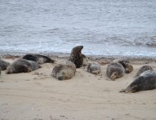 seals at Horsey beach
